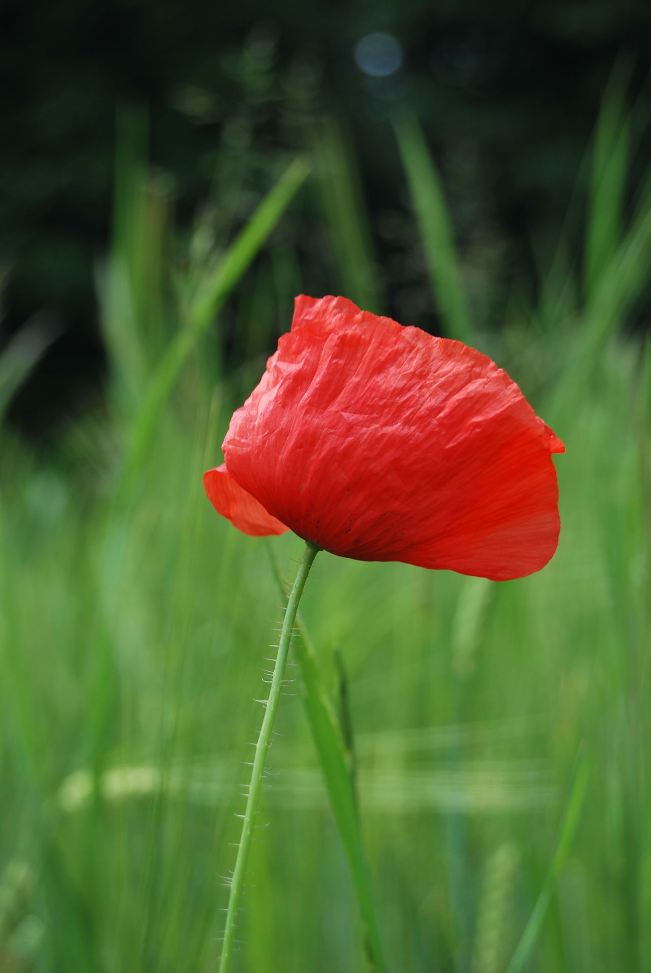 Beauty In Nature Blooming Close-up Day Field Flower Flower Head Fragility Freshness Grass Growth Nature No People Outdoors Petal Plant Poppy Red