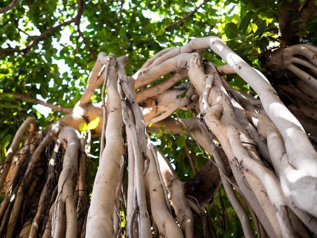 Tree with long roots Honolulu  Hawaii Nature Photography Nature_collection Big Tree Roots Of Life Trees Roots Of Tree Light Sunlight Sun Outside Nature Tree Tree Trunk Nature Branch Growth No People Day Outdoors Wood - Material Low Angle View Close-up Beauty In Nature Freshness