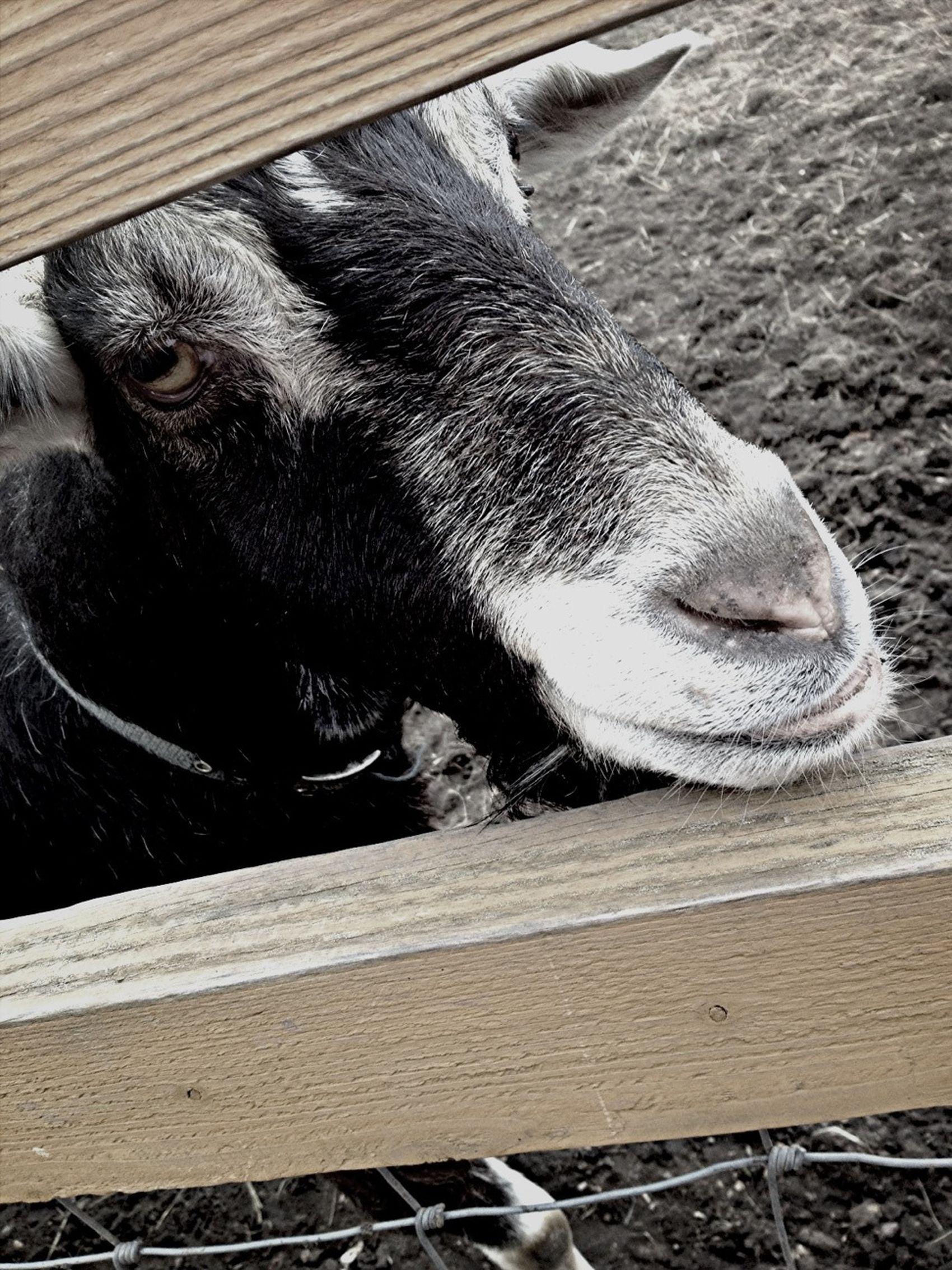 #goat #farm #animal #nottingham #cute