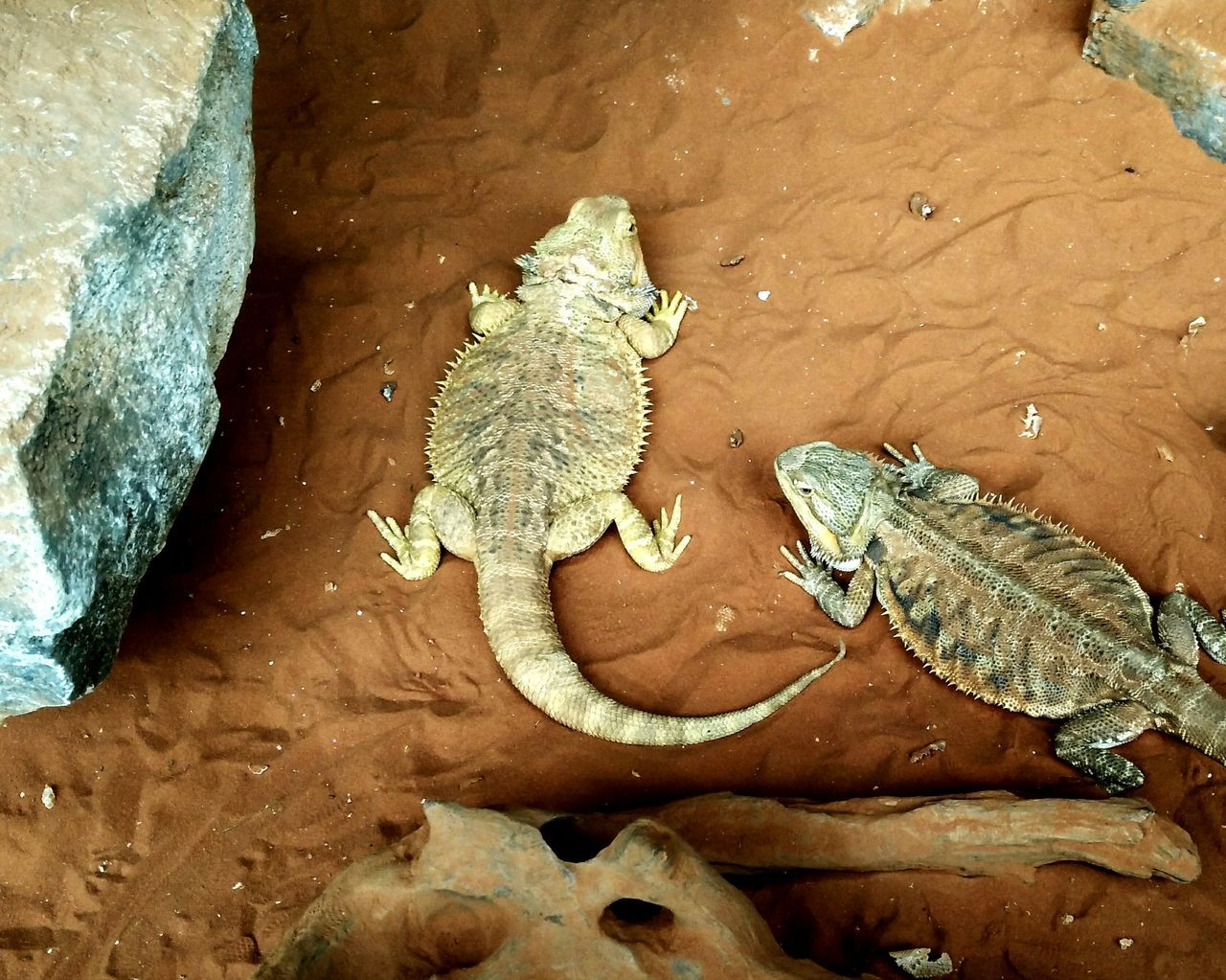 Lizards Animalphotography Animals Animal Wildlife Animals In The Wild Animal Lizard Cuteness Lizard Photography Lizard Nature Lizards Lizard