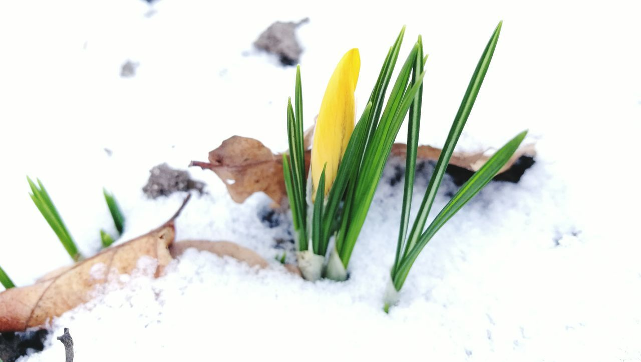 flower, winter, snow, nature, petal, freshness, growth, plant, beauty in nature, flower head, close-up, cold temperature, springtime, fragility, white background, snowdrop, no people, day, outdoors, crocus