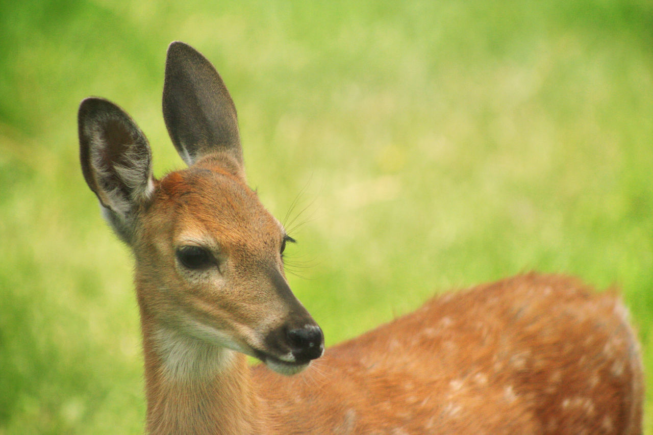Bambi Animal Animals In The Wild Baby Babydeer Bambi Curiosity Cute Cuteanimals Day Deer Field Grass Mammal Nature One Animal Outdoors Softness Wild Wildlife Wildlife & Nature