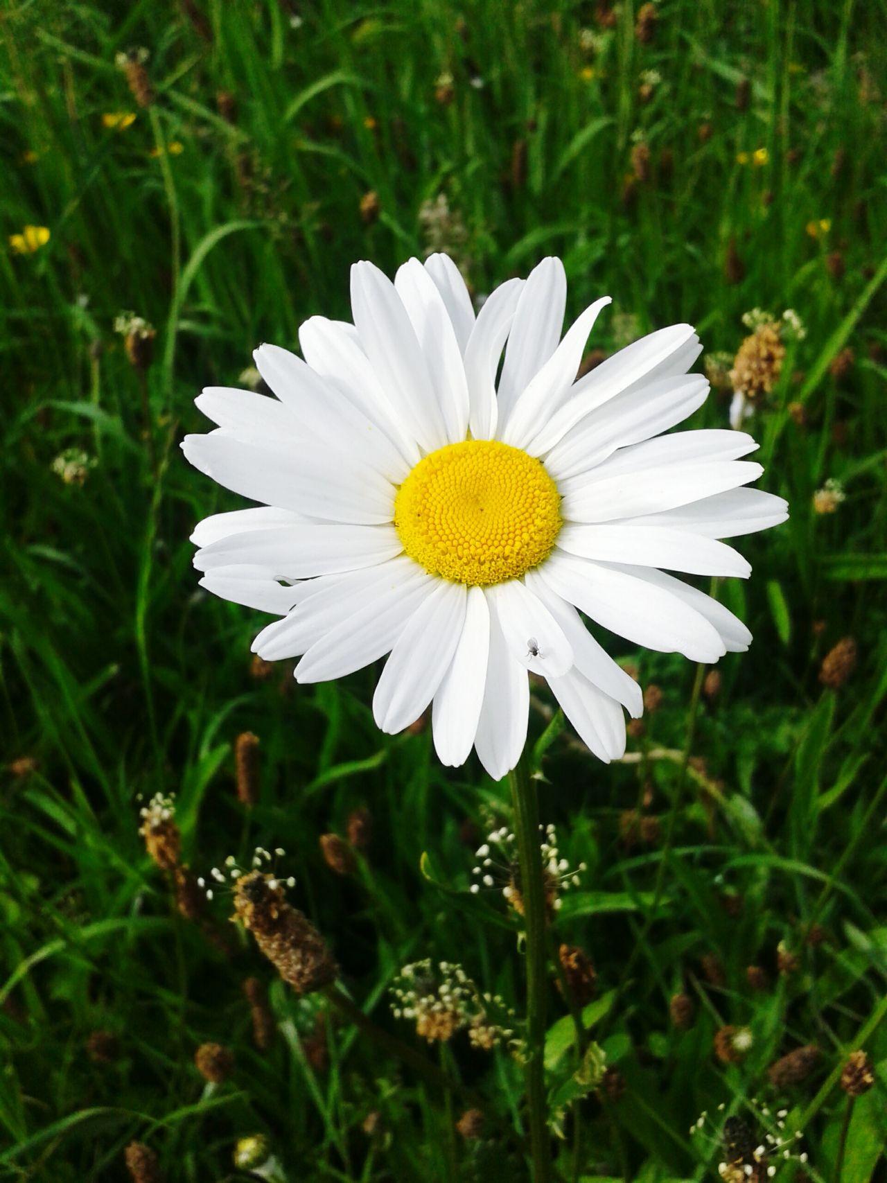 Summertime Flower Photography Taking Photos Sunnyday Flowerpower Lifeisgood Itsallgood Daisy Lonelydaisy