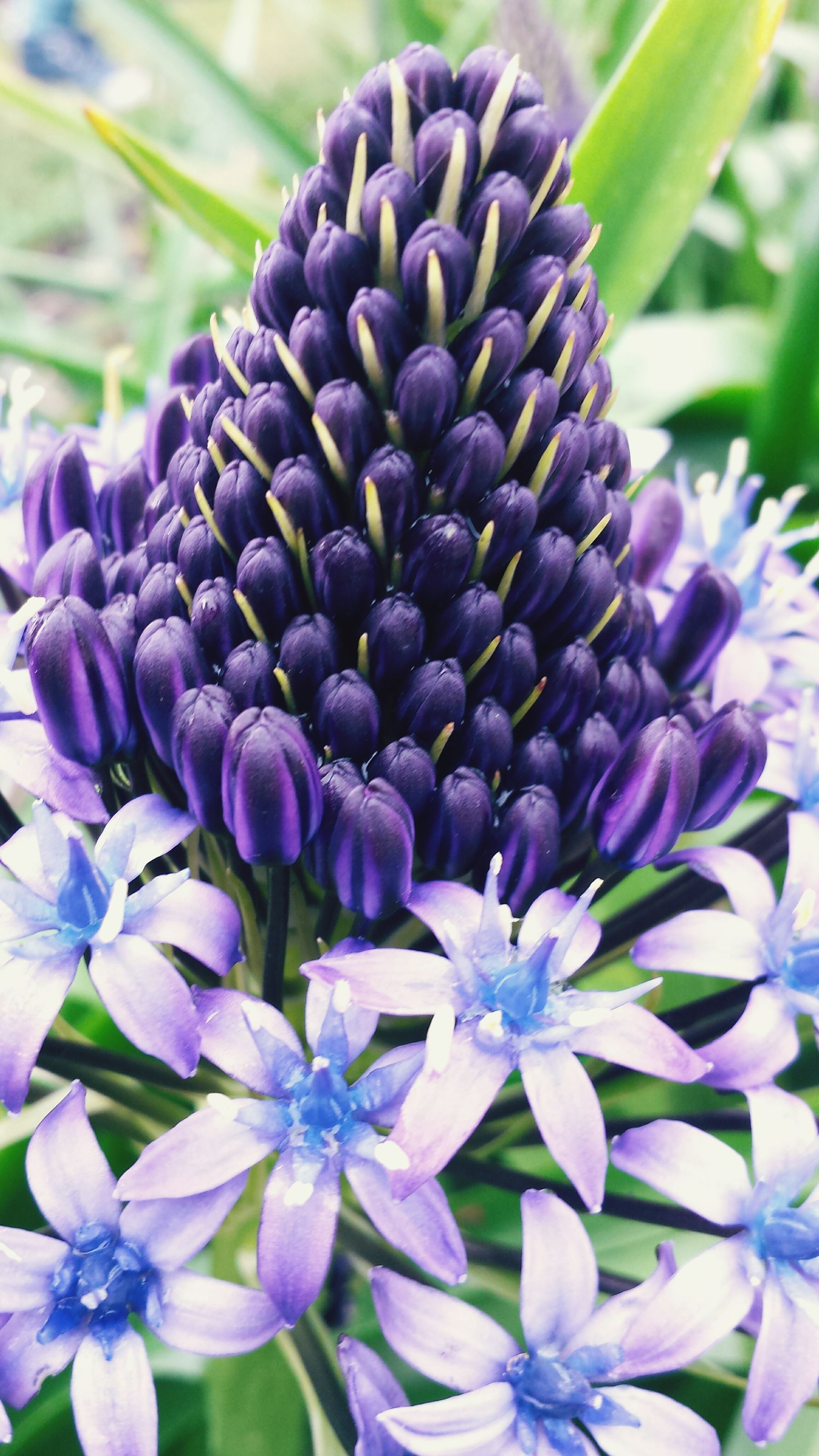 purple, flower, freshness, fragility, growth, close-up, blue, beauty in nature, petal, plant, focus on foreground, nature, flower head, blooming, no people, selective focus, outdoors, day, bud, in bloom
