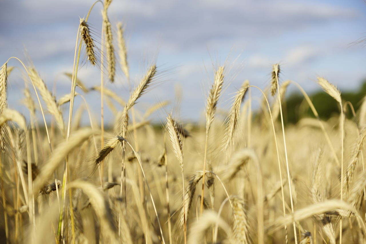 Agriculture Beauty In Nature Cereal Plant Close-up Crop  Day Ear Of Wheat Farm Field Focus On Foreground Freshness Growth Nature No People Outdoors Plant Rural Scene Sky Tranquil Scene Tranquility Wheat