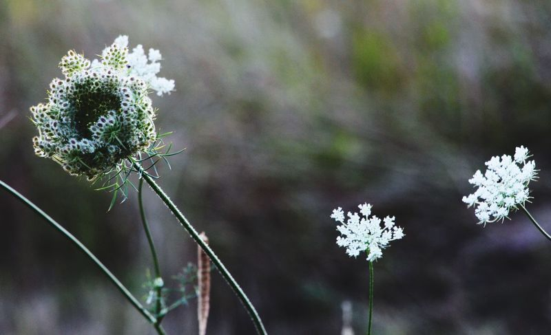 Wild Carrot. Naturefreak Herb Wildcarrot EyeEm Selects Flower Plant Nature Focus On Foreground Growth EyeEmNewHere No People Outdoors Flower Head Freshness Beauty In Nature Blooming Close-up Fragility