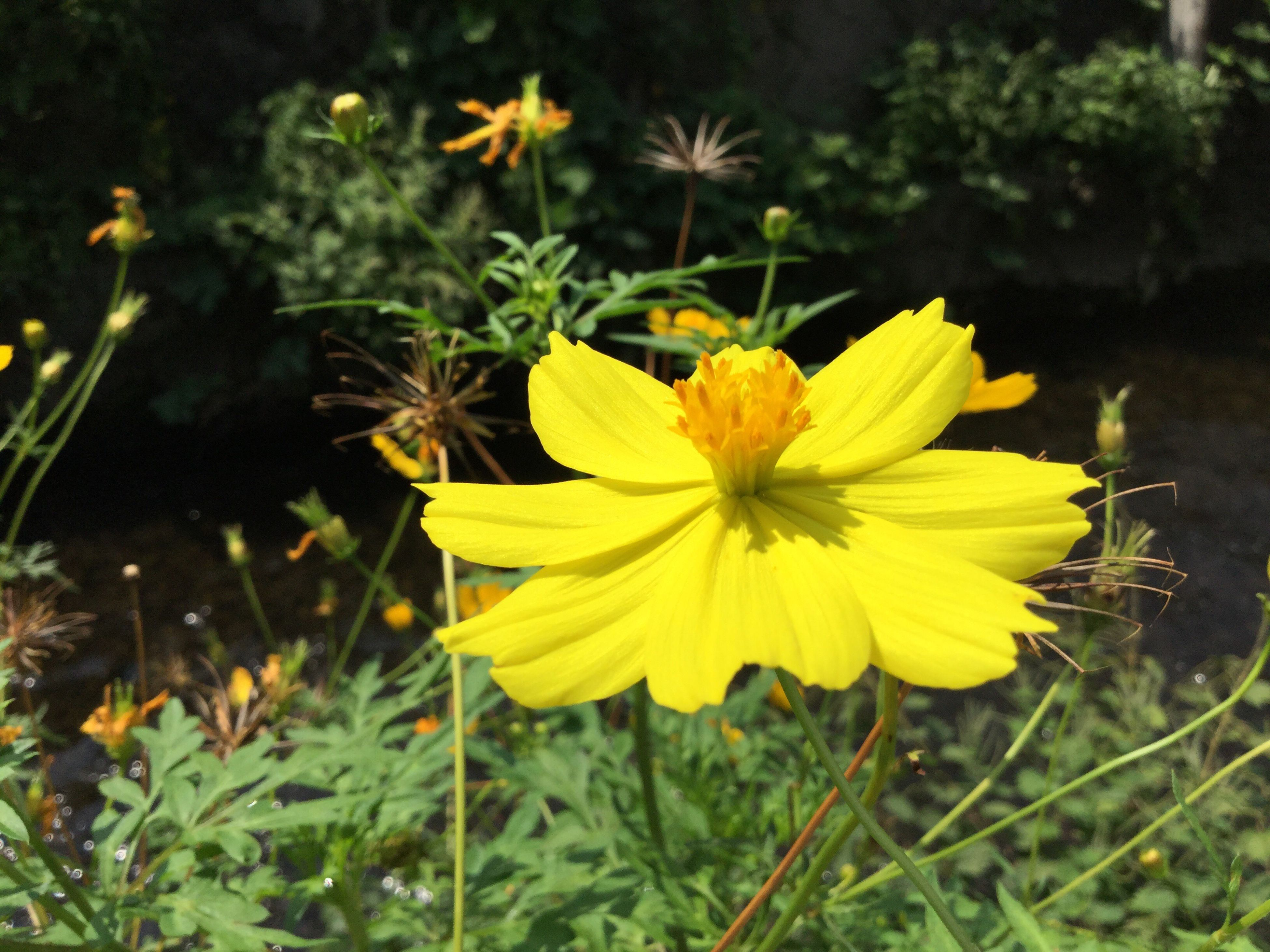 flower, fragility, freshness, petal, yellow, flower head, growth, beauty in nature, close-up, stem, plant, springtime, in bloom, season, nature, blossom, focus on foreground, blooming, vibrant color, botany, day, outdoors, wildflower, daisies, flowering plant, bloom, formal garden, yellow color, uncultivated