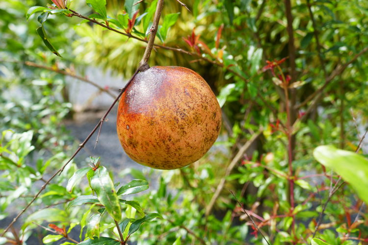 Pommegranate Tropical Fruits Branch Close-up Day Focus On Foreground Food Food And Drink Freshness Fruit Fruit Tree Fruits In Thailand Granatapfel Growth Hanging Healthy Eating Nature No People Outdoors Thailand_allshots Tree Tropical Plants