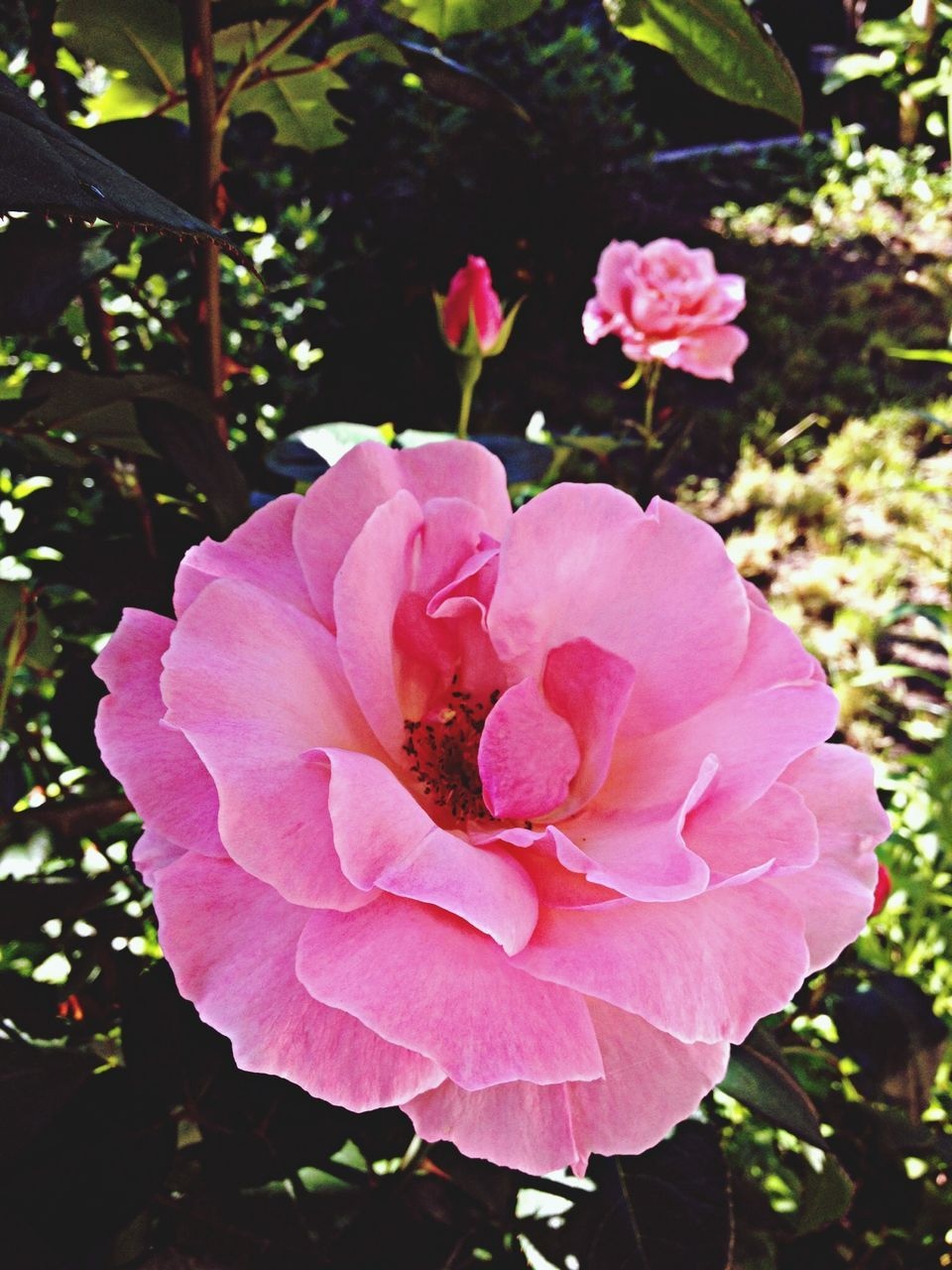 flower, petal, nature, beauty in nature, growth, pink color, plant, flower head, wild rose, fragility, blooming, no people, freshness, outdoors, day, close-up
