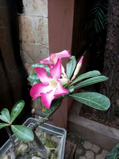 Flower_gallery Flower Collection Flower Photography 🌷 Flowers 🌹 Pink Flower Adenium Kamboja Jepang My Premium Collection
