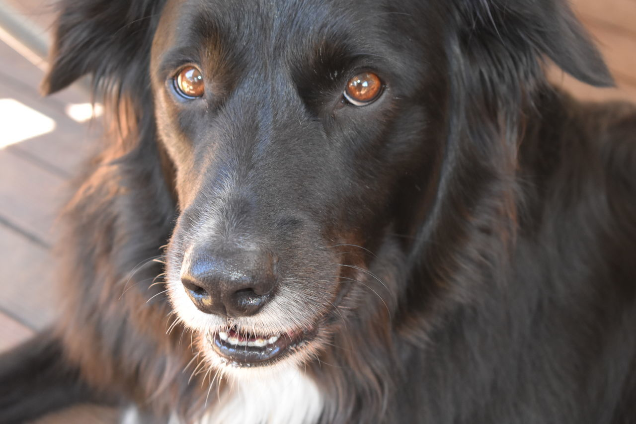 One Animal Animal Themes Close-up Black Color Domestic Animals Dog Pets Animal Head  No People Portrait Looking At Camera Border Collie Day Outdoors Animal Eye Poser Lovethisdog
