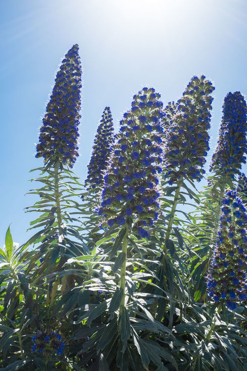 Pride of Madeira, also an invasive plant in California Beauty In Nature Blackandwhite Day Echium Candicans Flowers Growth Invasive Species Low Angle View Nature No People Ornamental Plant Outdoors Plant Pride Of Madeira Purple Scenics Sky Sun Flare Tree