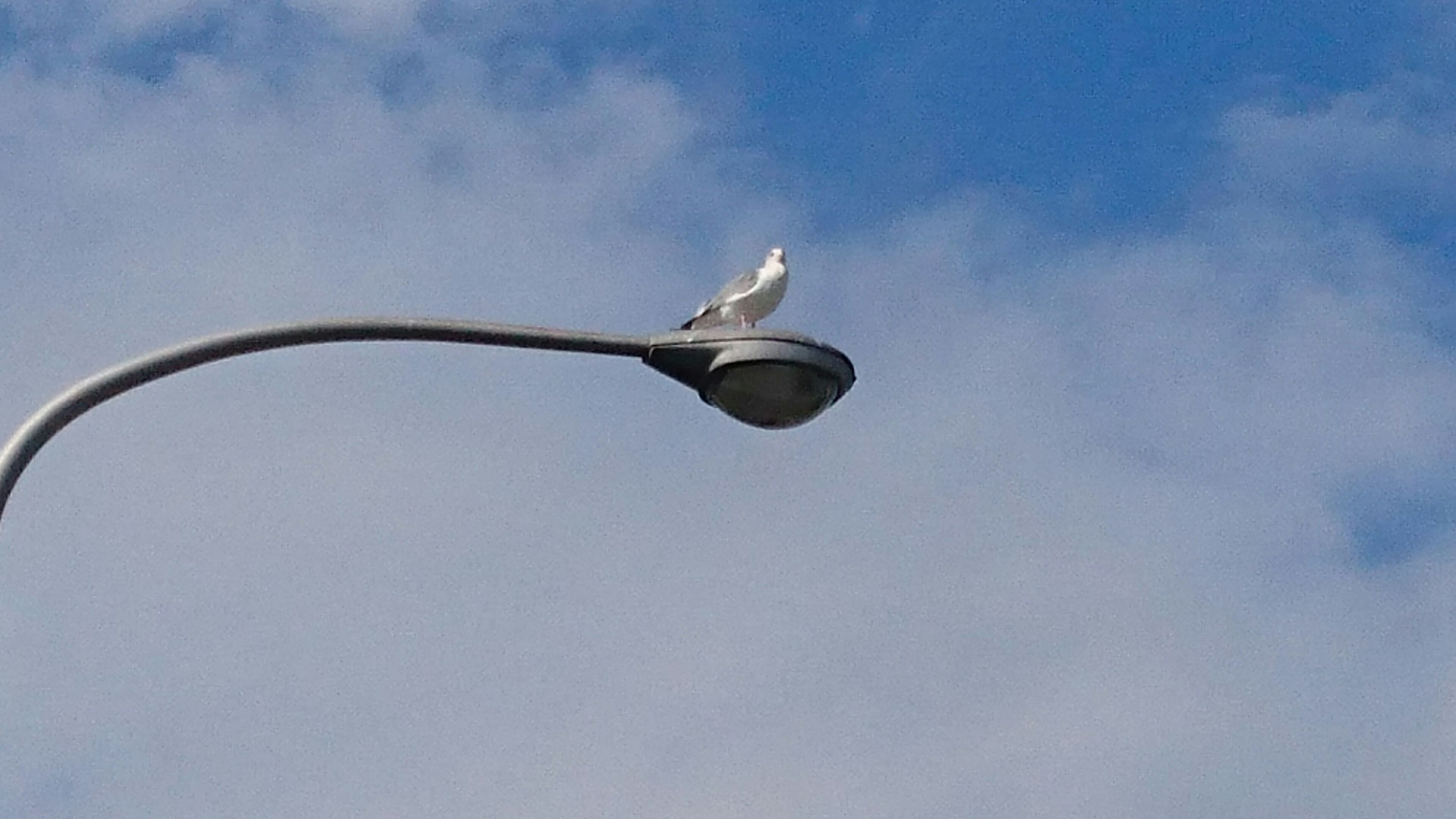 low angle view, animal themes, bird, sky, animals in the wild, one animal, wildlife, flying, mid-air, street light, cloud - sky, blue, cloud, nature, outdoors, lighting equipment, day, no people, perching, spread wings