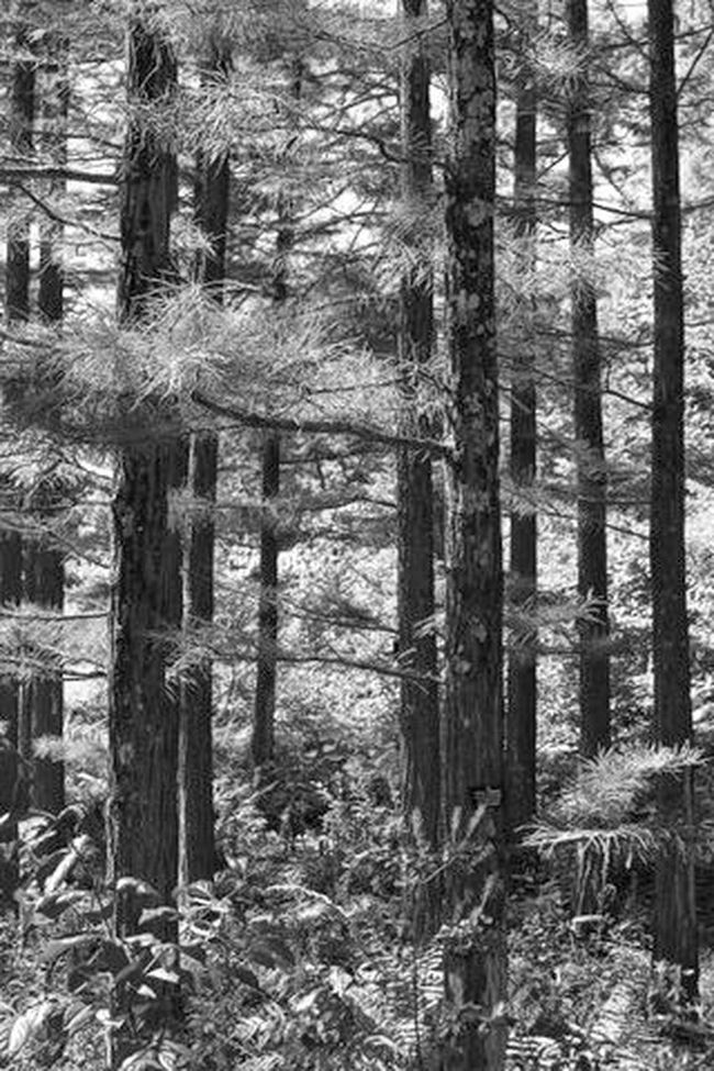 Beauty In Nature Black And White WoodLand Outdoors Day Forest Solitude Conifers Pine Needles Photography