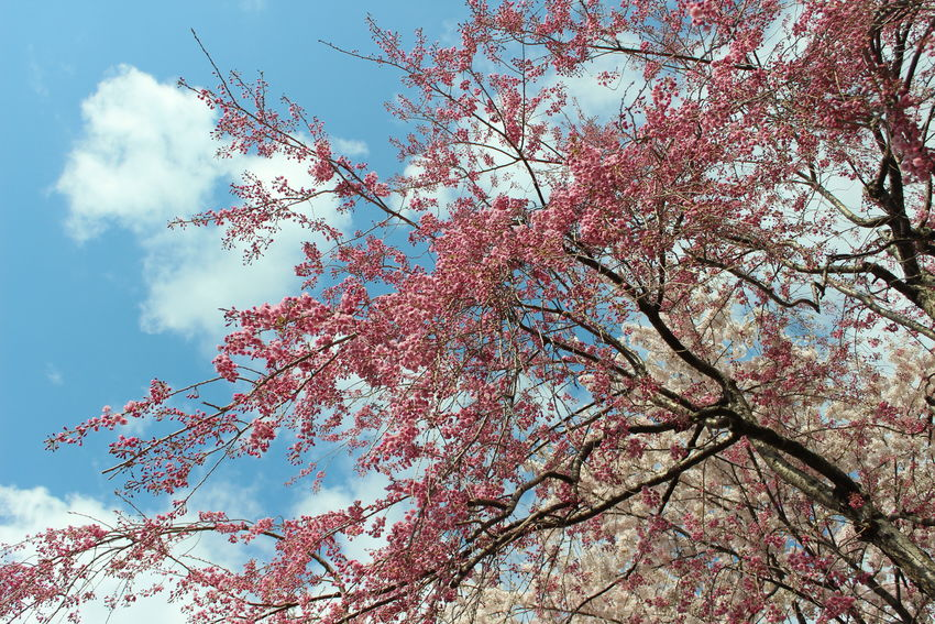 Beautiful Nature Flowerlovers Flowers EyeEm Flower EyeEm Nature Lover The Purist (no Edit, No Filter) Pink Flower Nature 出勤前に寄り道🌸