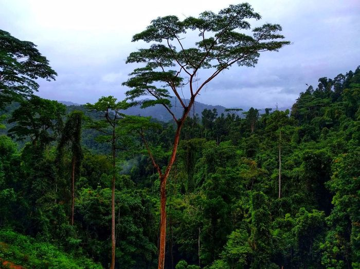 Philippines Jungle Tree Growth Nature Outdoors Forest Green Color No People Tree Area Beauty In Nature Day Sky