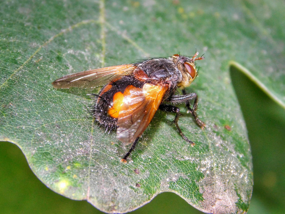 Animal Themes Animal Wildlife Animals In The Wild Bristles Close-up Day Dirty Diseased Plant Fly Housefly Insect Insect Photography Insects  Leaf Macro Macro Photography Nature No People One Animal Orange Color Outdoors Ugly Wings