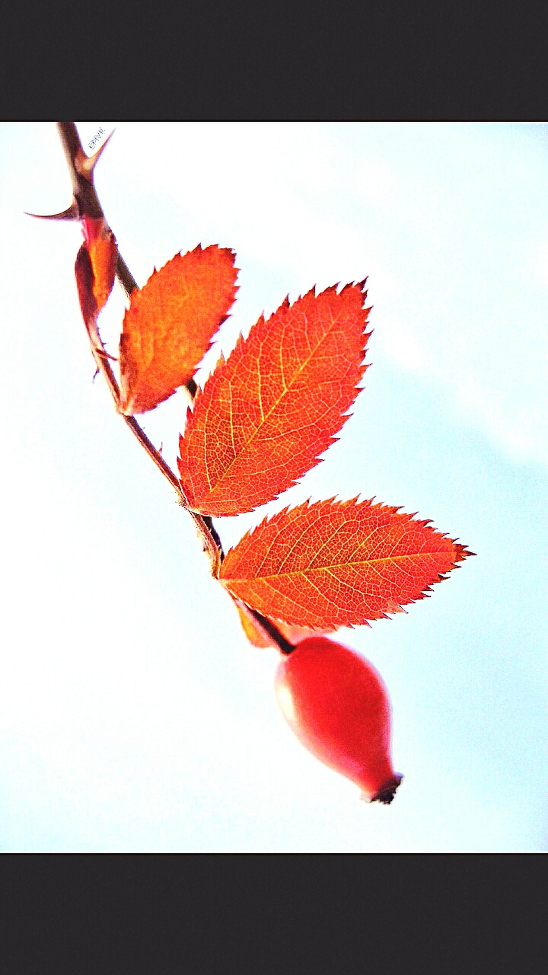 change, leaf, autumn, red, season, close-up, natural condition, studio shot, white background, leaf vein, leaves, nature, orange color, branch, beauty in nature, tranquility, day, fragility, no people, creativity