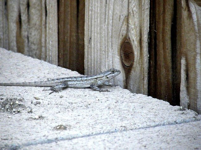Taking Photos Reptile Lizard Beautiful Nature Nature Colorful Reptile Color Photography No People, Outdoors Riverside California