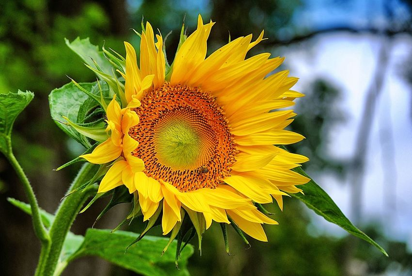 Beauty In Nature Bloom Blossom Botany Close-up Day Flower Flower Head Focus On Foreground Fragility Freshness Growing Growth In Bloom Nature No People Petal Plant Pollen Single Flower Springtime Sunflower Sunflowers Vibrant Color Yellow
