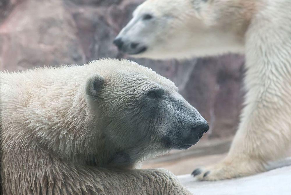 Zoo Polar Bear 旭山動物園