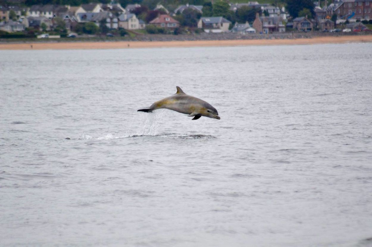 Dolphin Breach Sea One Animal Nature Waterfront Animals In The Wild Water Outdoors Animal Themes Beauty In Nature Mammal Beauty Beauty In Nature Young Animal Scotland Scottish Highlands Moray Firth