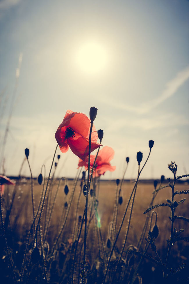 Poppy Beauty In Nature Close-up Contre-jour Shot Field Focus On Foreground Fragility Growth Nature No People Outdoors Plant Poppy Poppy Flowers Sky Sunlight Tranquility