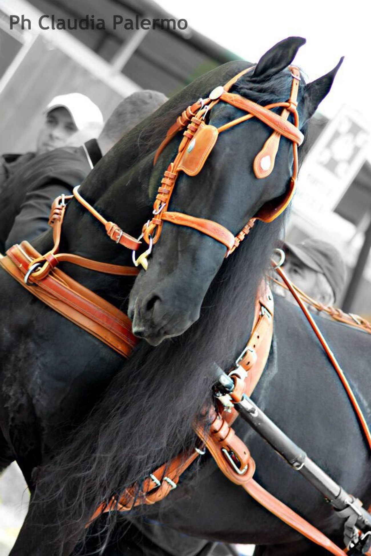 Horses Horse Fresian Equine