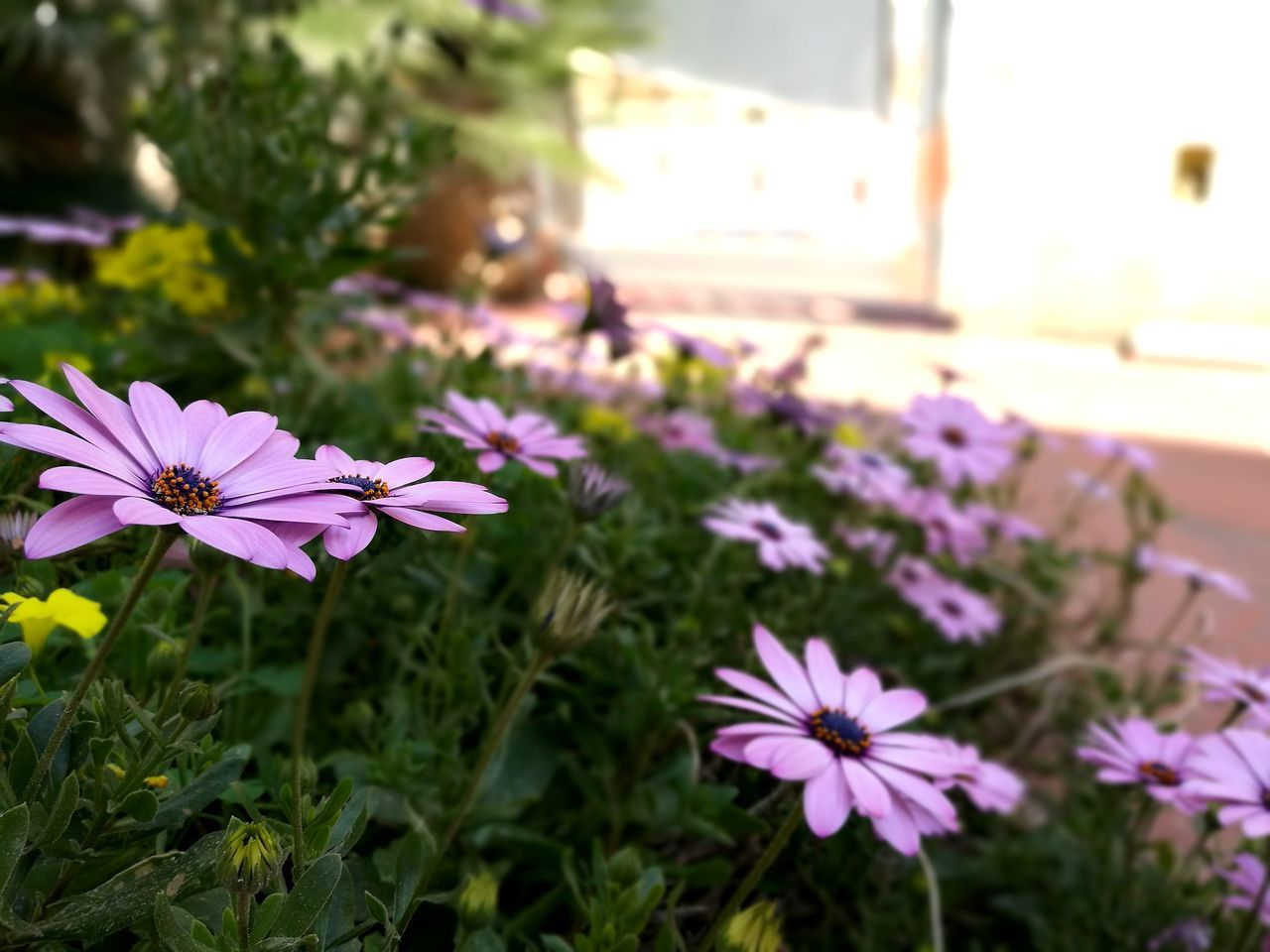 flower, fragility, petal, purple, growth, beauty in nature, freshness, nature, flower head, focus on foreground, plant, blooming, day, close-up, no people, pink color, outdoors, cosmos flower, osteospermum, crocus, petunia