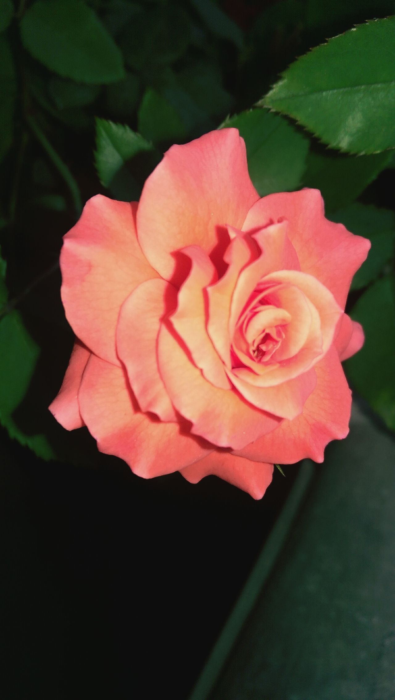 Everyone Love Roses Right😤 My Balcony Details Of Nature Pink Roses Beautiful Nature
