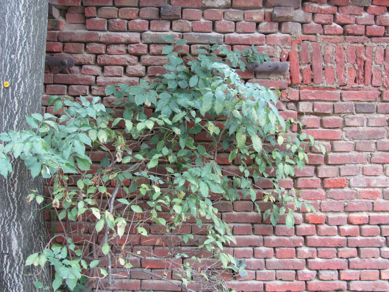 brick wall, wall - building feature, leaf, built structure, architecture, brick, wall, plant, growth, building exterior, creeper plant, green color, outdoors, day, stone material, nature, fragility, creeper, no people, springtime