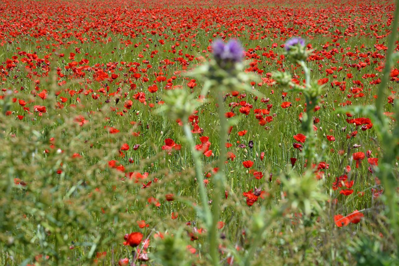 The Essence Of Summer thistles poppies poppy field plants flowers red green purple colors nature beauty landscape Fine Art Photography Colour Of Life Finding New Frontiers