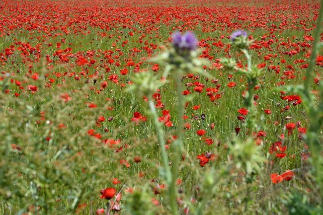 The Essence Of Summer thistles poppies poppy field plants flowers red green purple colors nature beauty landscape Fine Art Photography Colour Of Life