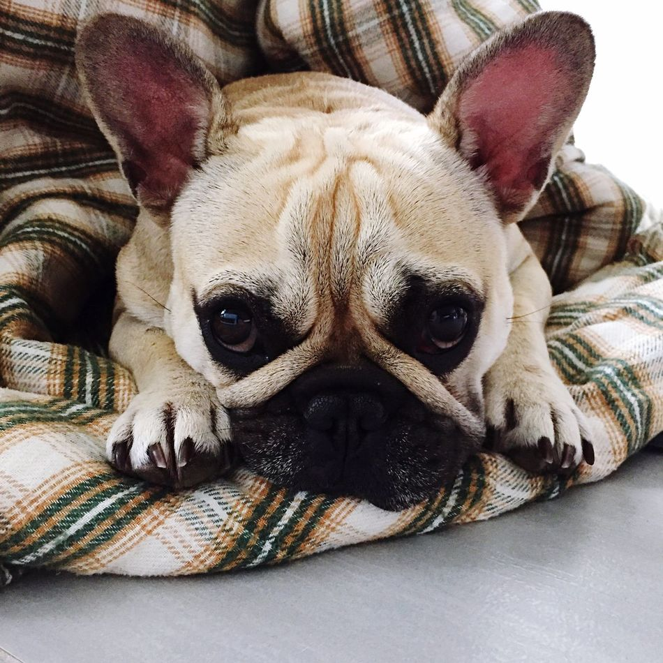 Always Be Cozy Looking At Camera One Animal Domestic Animals Animal Themes Dog Portrait Close-up Indoors  Pets Frenchbulldog Bullies