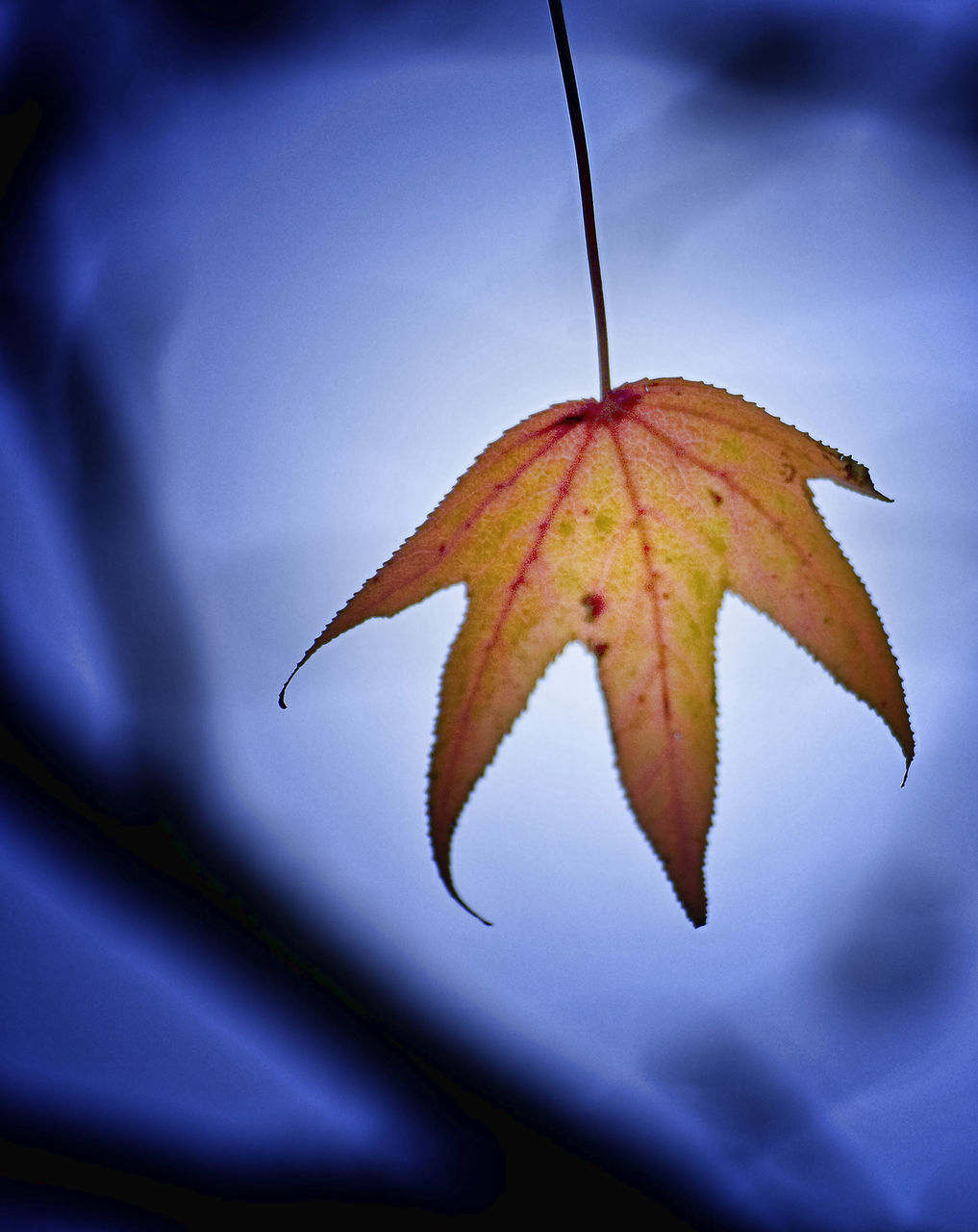 leaf, autumn, change, dry, nature, close-up, day, no people, outdoors, maple leaf, one animal, beauty in nature, maple, fragility