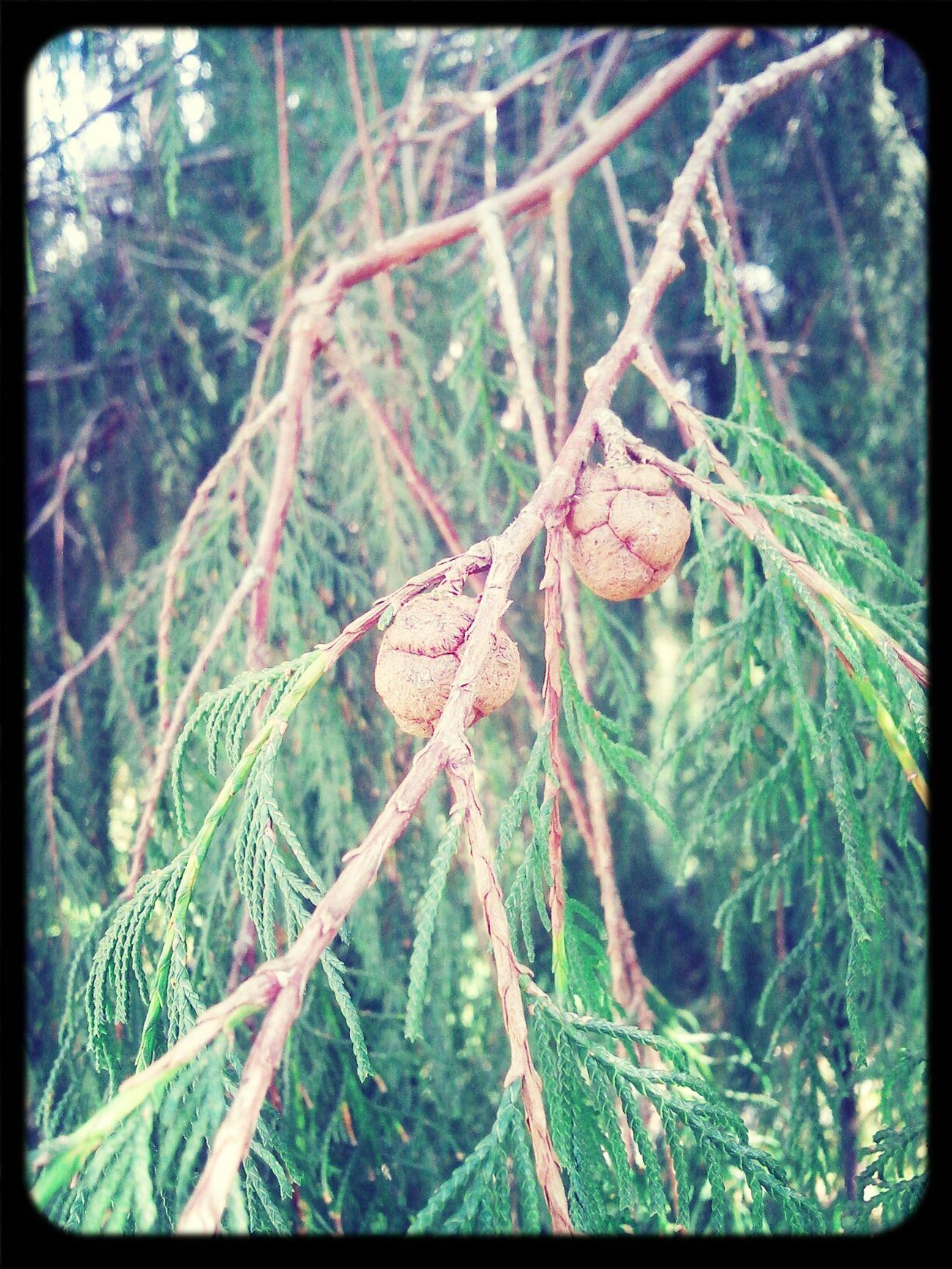 Seeds Tree Cypress Trees