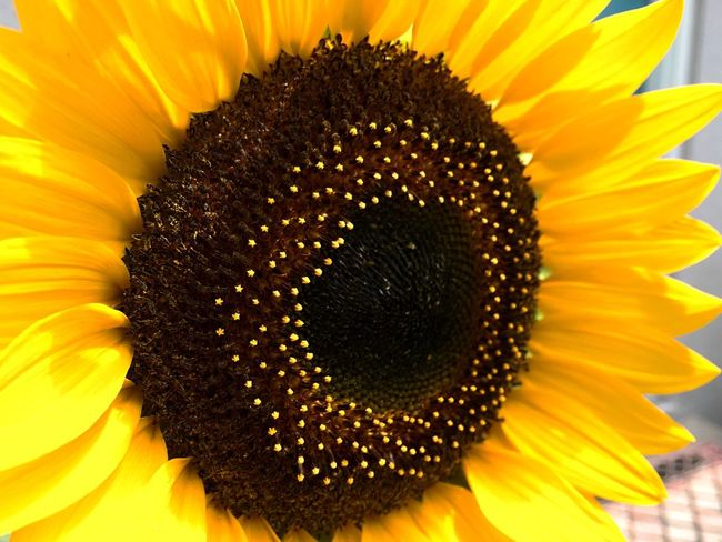 Sunflower Floral BloomNM Sunnydays Enjoying Life Taking Photos Relaxing Beauty Flowers Nature Life Urban Garden Summerdays