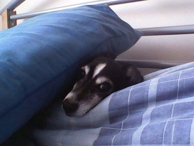 National Napping Day One Dog Sleepy Dog Sleeping Cute Pet Cute Pets Cute Dog  Little Dog Small Dog Jack Russell Jack Russell Terrier Black And White Dog In The Bed In Bed Sleeping Dog Dog Napping Dogs Napping Nappin Old Dog Old Boy