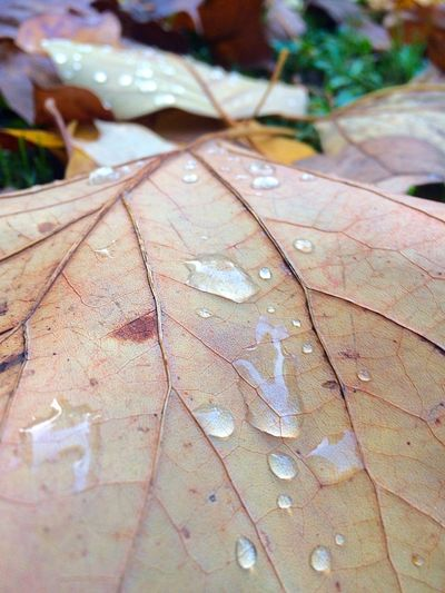 Autumn Autumn Leaves Drop Leaves Rain Drops Colors Close-up Change Transformation Nature Beauty In Nature Nature