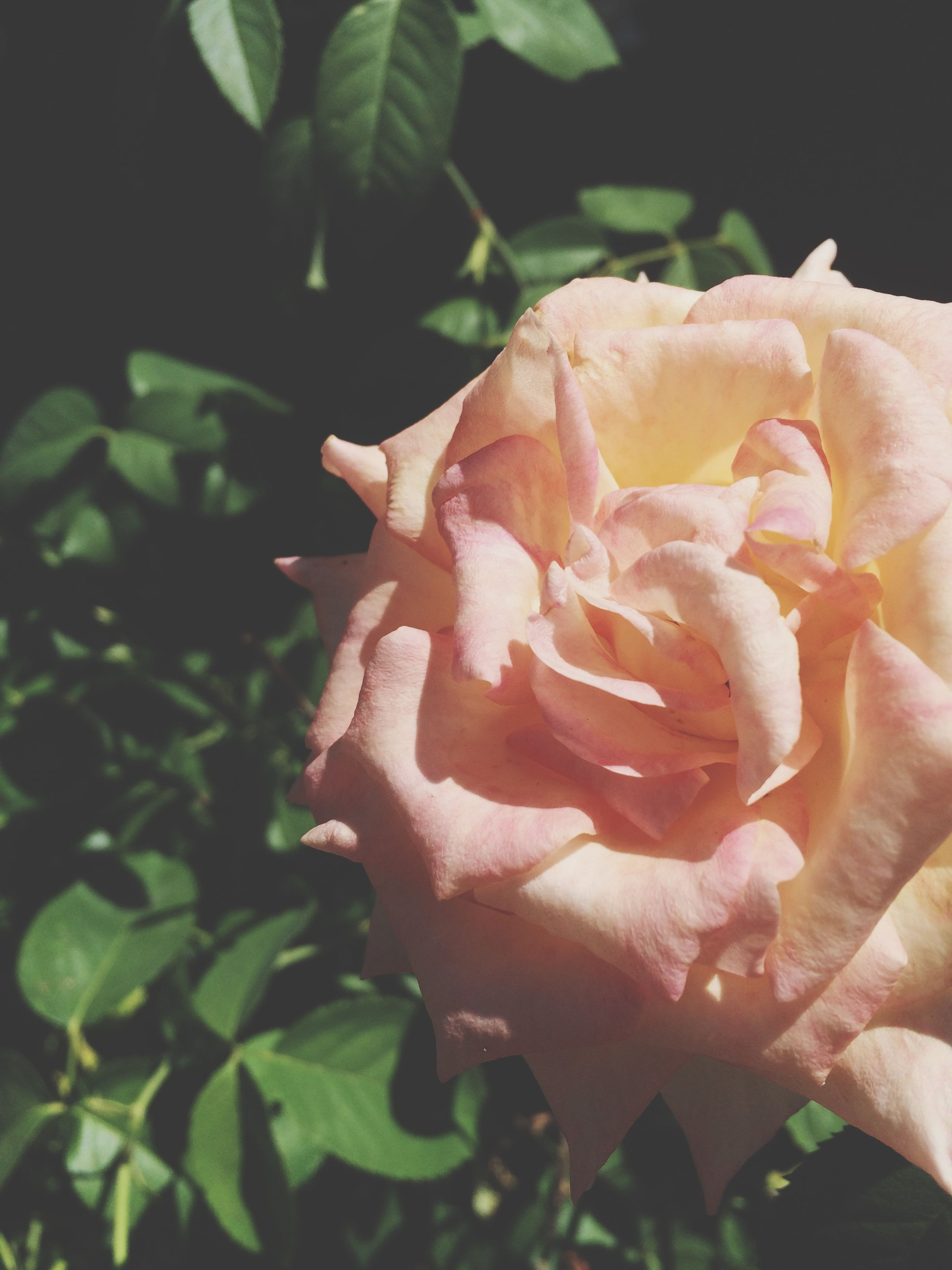 flower, petal, freshness, flower head, rose - flower, fragility, close-up, beauty in nature, growth, single flower, blooming, nature, pink color, plant, rose, focus on foreground, drop, leaf, in bloom, single rose