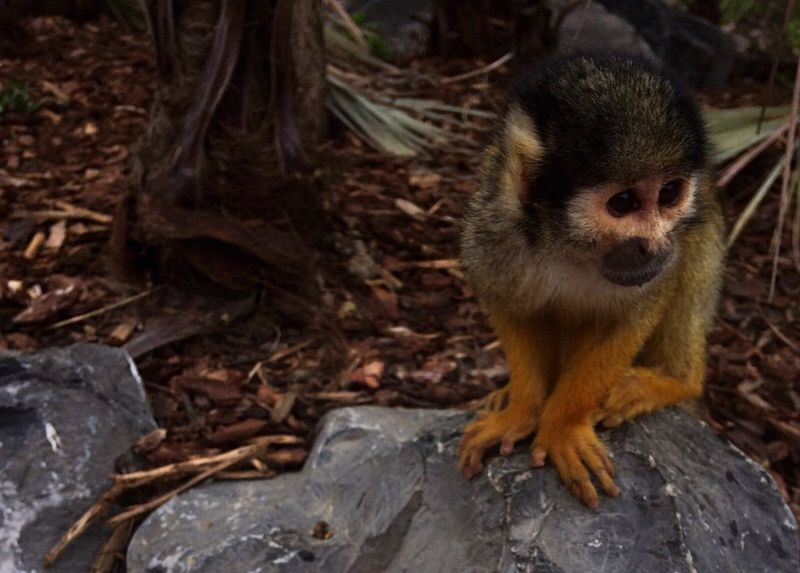 🐵 One Animal Animals In The Wild Animal Wildlife Outdoors No People Monkey Nature Day Close-up Daylight Real Life Wilderness Squirrel Monkey Monkeys