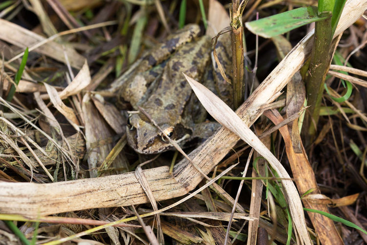 Biotope EyeEmNewHere Nature Reserve Soggy Amphibian Close-up Day European Frog Fauna Foliage Nature Nature_collection No People Outdoors Plant Weed Wildlife