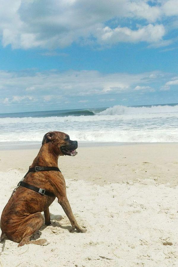 Being A Beach Bum Beachlife Boxerlove Boxer Dog Goodwave Sand & Sea Relaxing Enjoying The Sun LoveBeaches Taking Photos