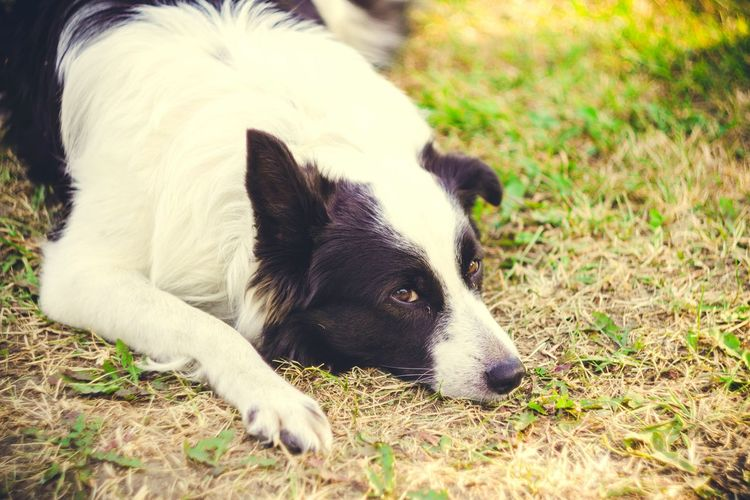 Dog Dogs Dogoftheday Border Collie Bordercollie  Nature Nature_collection EyeEm Nature Lover Природа бордер колли Pets Animals Animal Animal_collection Bestoftheday Popular Photos Picoftheday Photooftheday Taking Photos EyeEm Best Shots Village Country Helios 44-2 Helios 44-2 58mm F2 Ussrlens