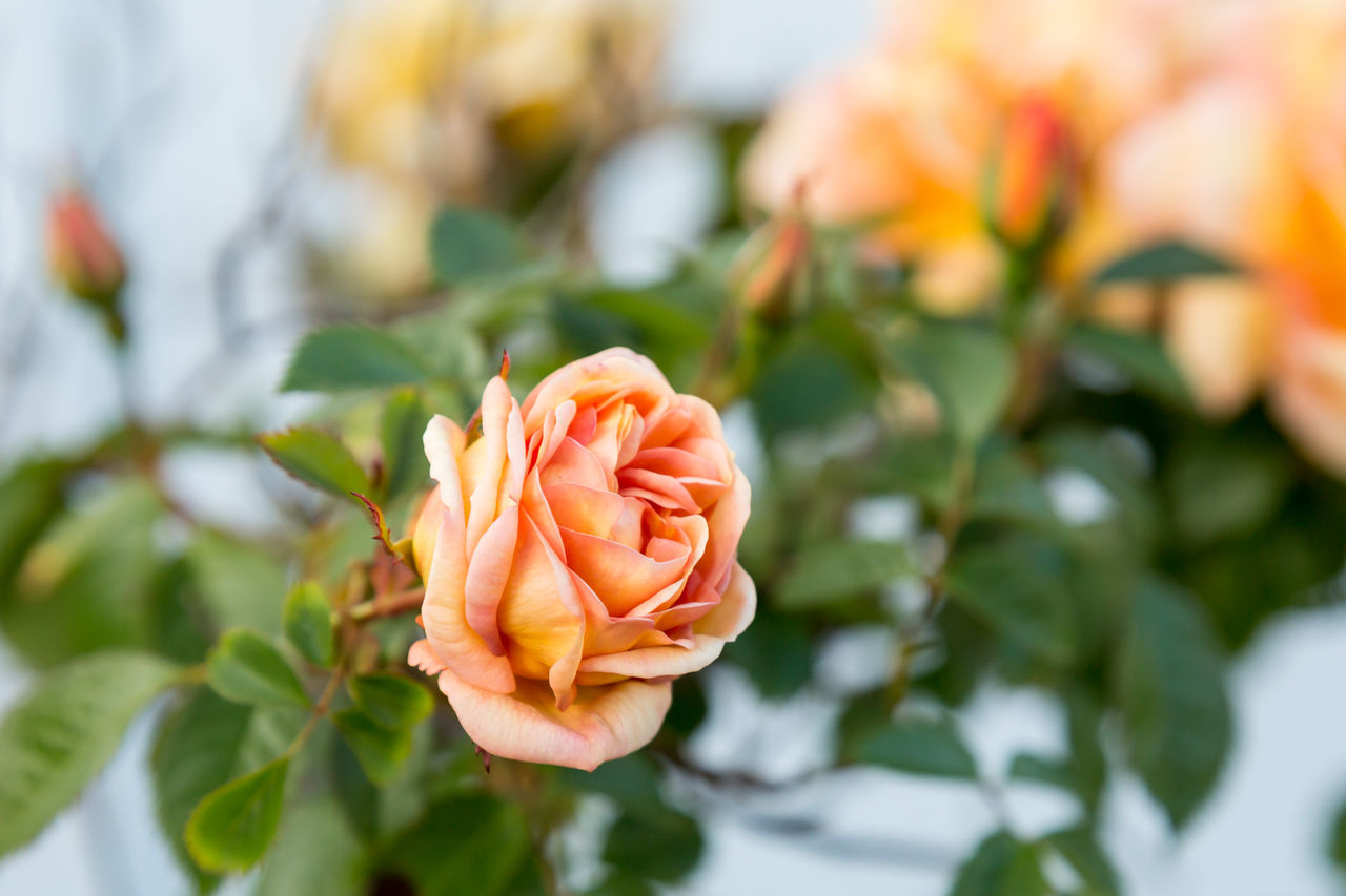 Peach Roses Beauty In Nature Blooming Close-up Day Flower Flower Head Focus On Foreground Fragility Freshness Growth Leaf Nature No People Outdoors Peach Peach Rose Petal Plant Rose - Flower Shallow Depth Of Field