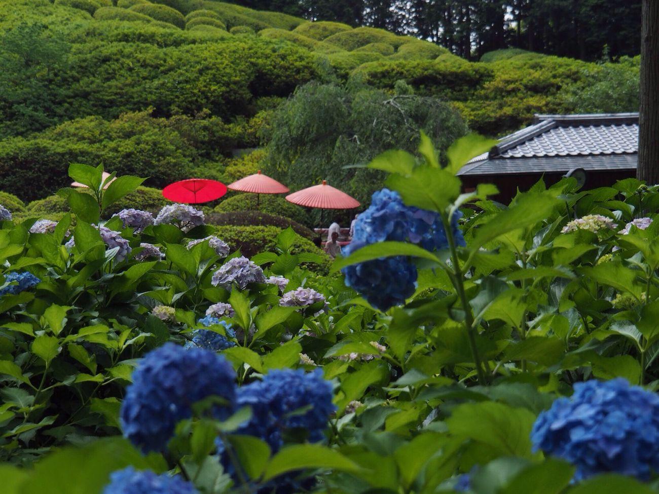 Kyoto Japan Uji Mimurotoji Temple Hydrangea Growth Plant Flower Nature Beauty In Nature Day Outdoors Umbrella Japanese Style Green Olympus PEN-F 京都 日本 宇治 三室戸寺 紫陽花 10,000株の紫陽花