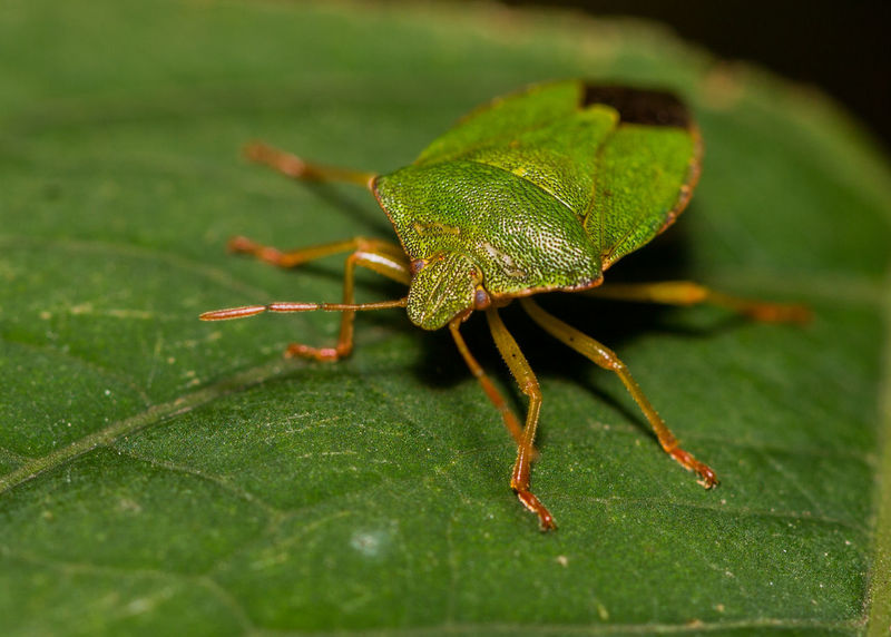 Animal Themes Animal Wildlife Animals In The Wild Canon Canon Macro Canon5Dmk3 Canon_photos Canonphotography Close-up Day Green Color Insect Leaf Macro Macro Insect  Macro Nature Macro Photography Nature No People One Animal Outdoors Punaise