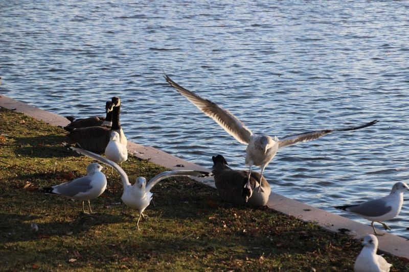 EyeEm Selects Animal Themes I think the seagull didn't like that goose! Birds Of EyeEm  Outdoors On Long Island