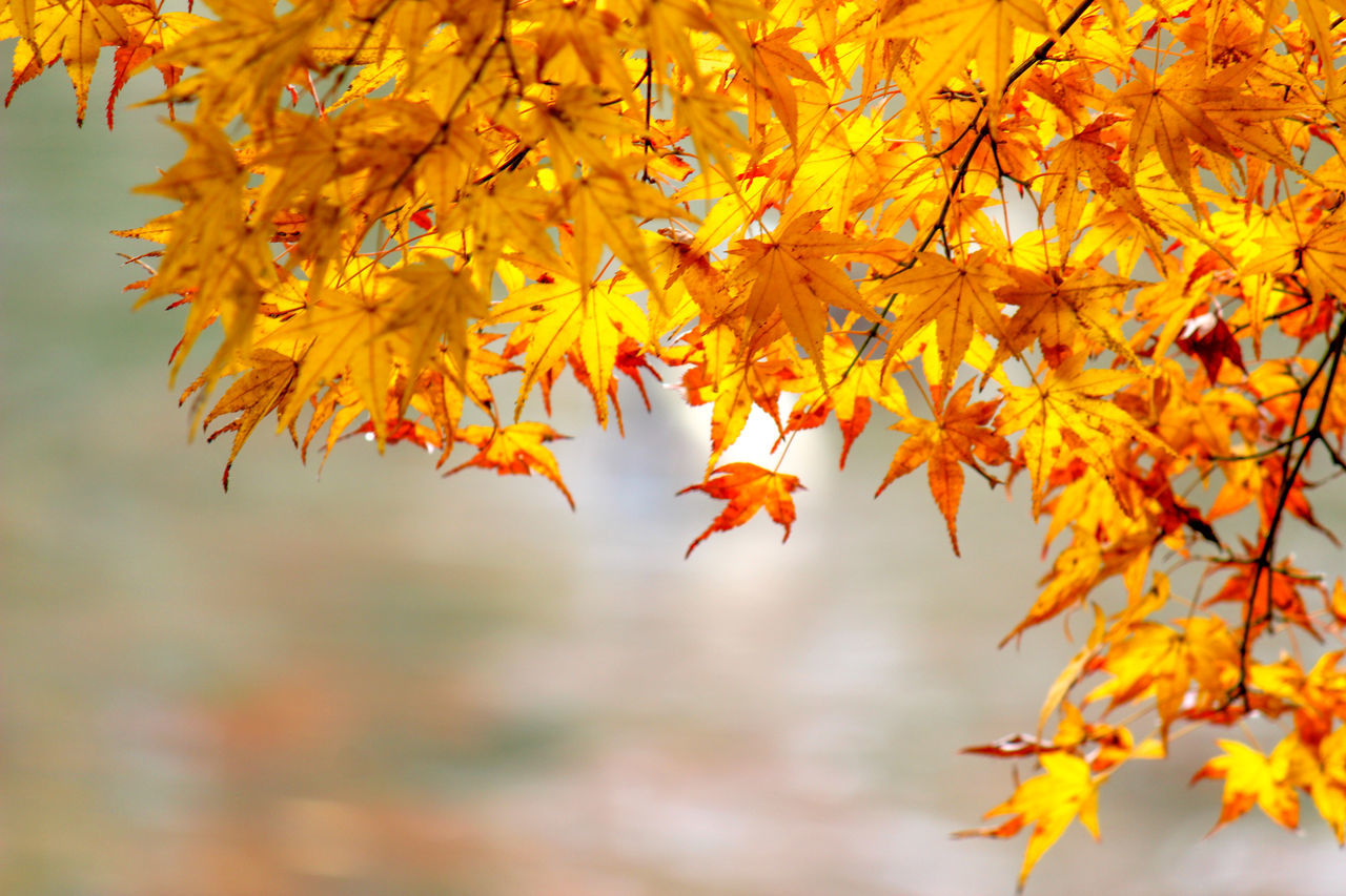 autumn, change, leaf, orange color, nature, beauty in nature, maple leaf, day, outdoors, maple tree, focus on foreground, tree, maple, no people, close-up, water