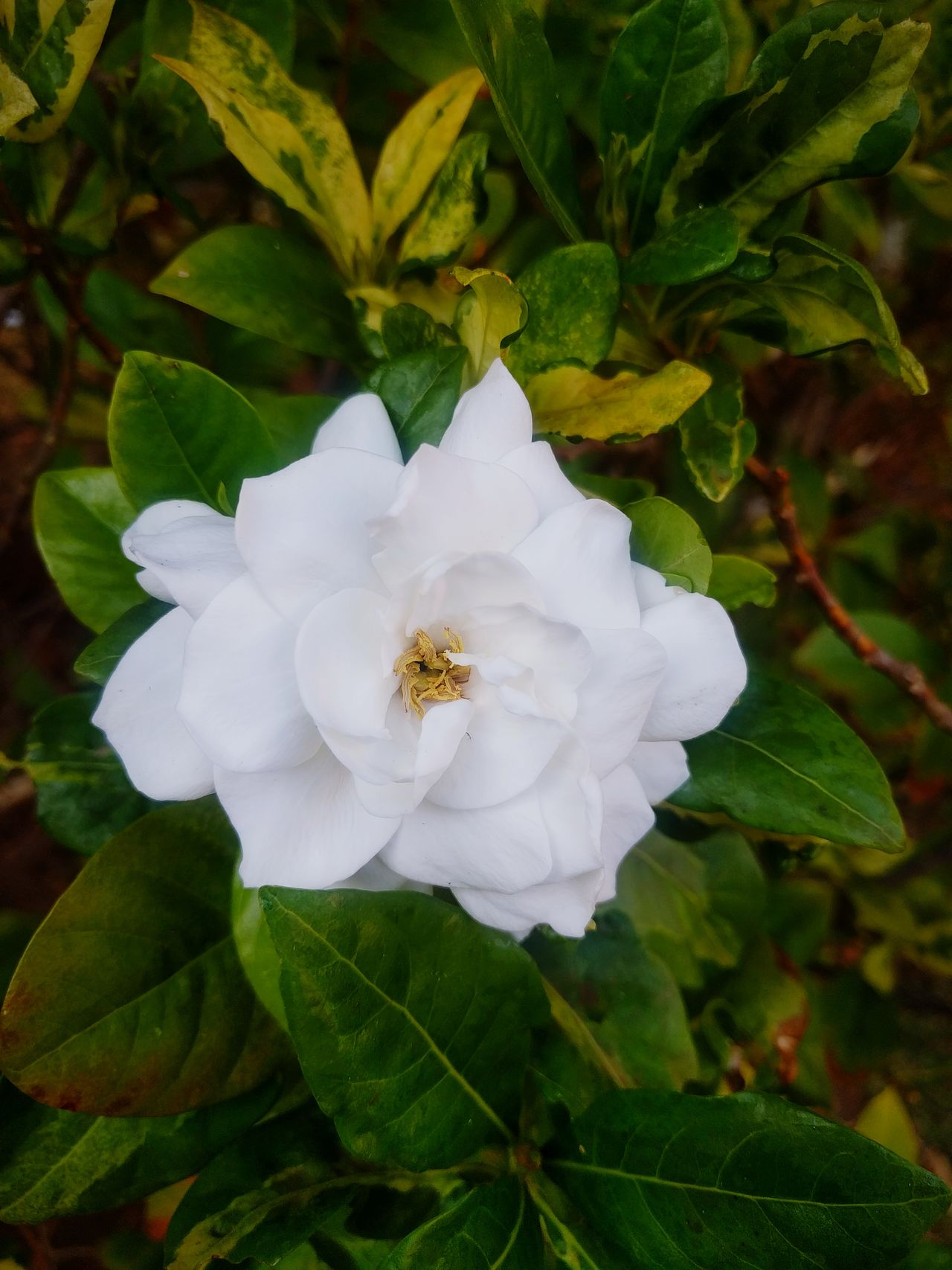White Flower Freshness Beauty In Nature Close-up Nature Flowers 🌸🌸🌸 Flower Photography Eyem Best Shots Nature_collection Flower Head Flower Lover Flower White Flowerphotography Flower_Collection